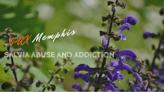 salvia abuse and addiction